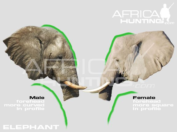 Pin by Ayelet Shapira on Elephants | Pinterest | Anatomy reference ...