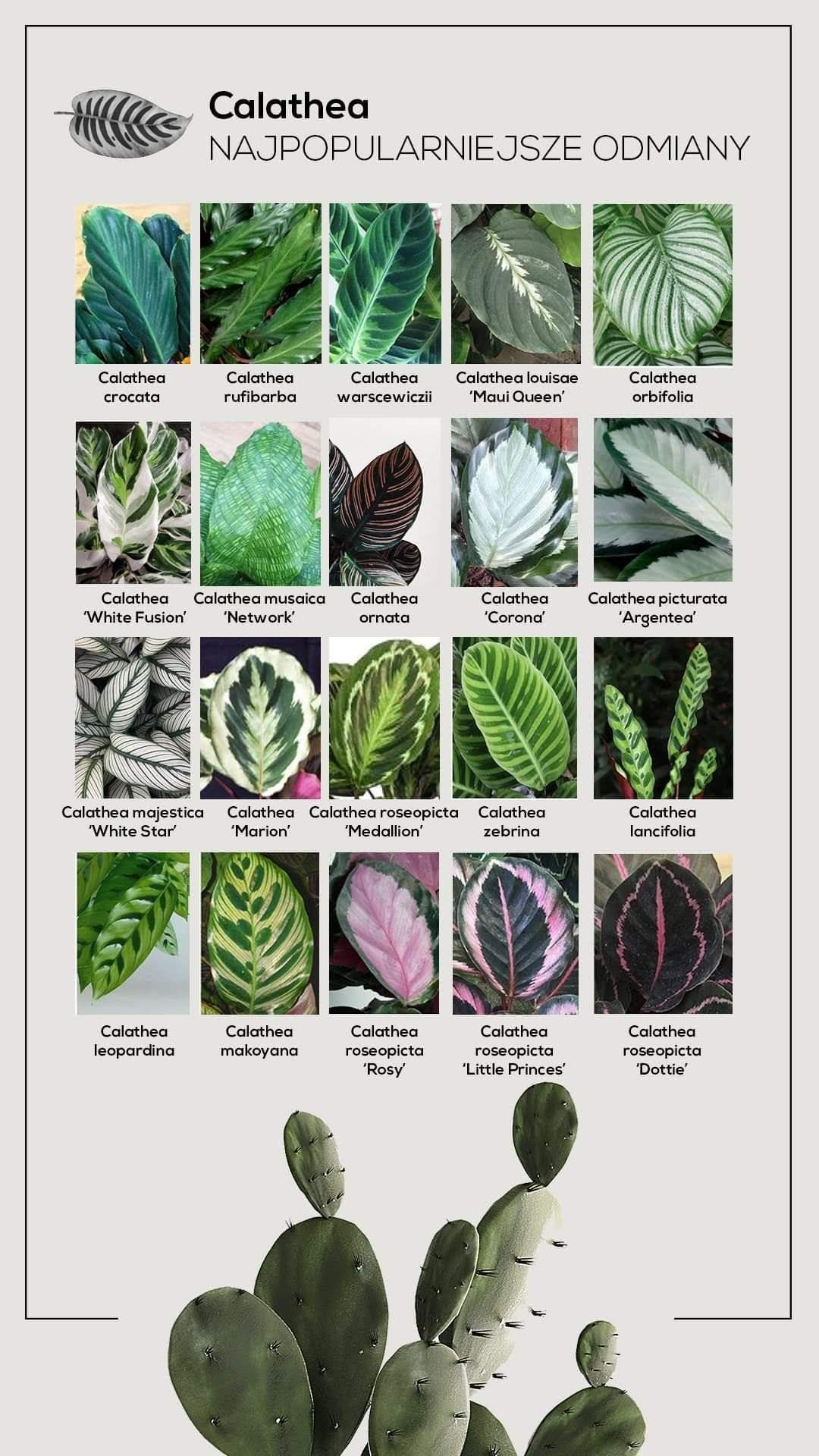 Calathea Varieties In 2020 Calathea Plant Cool Plants Calathea