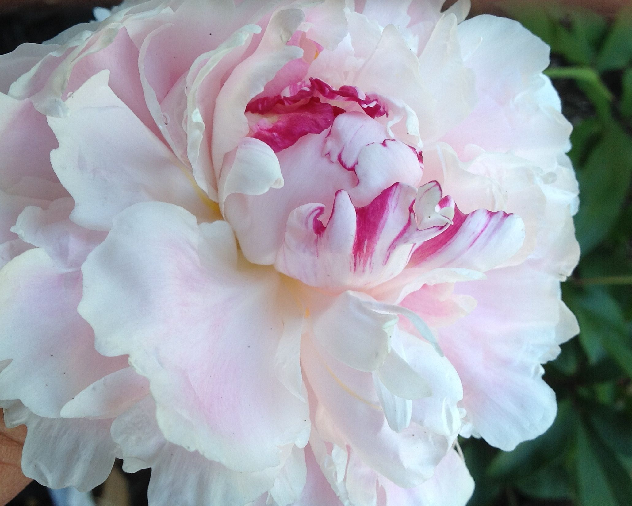 My First Peonies Zone 9a Too Hot To Grow Here So They Say Garden Flowers Perennials Flowers Perennials Flower Garden