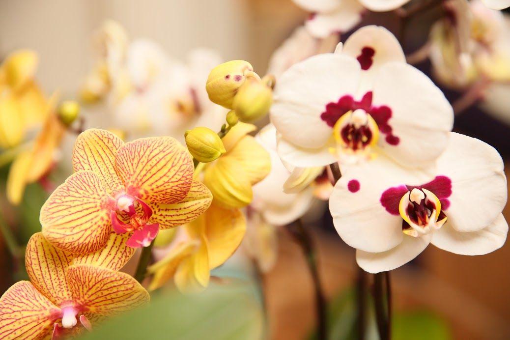 Orquidea Laelia Anceps Var Coerulea Orchid Flower Beautiful Orchids Beautiful Flowers