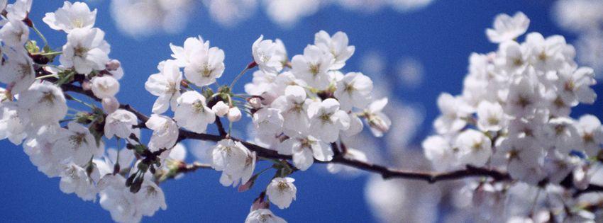 Cherry Blossom Fruit Tree Garden Fruit Trees Apple Tree Blossoms