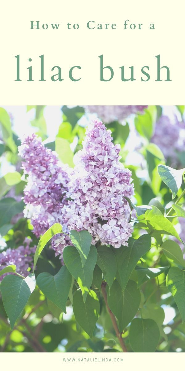 How To Grow A Lilac Bush For Beautiful Blooms In The Spring Natalie Linda In 2020 Lilac Bushes Flower Garden Care Garden Care