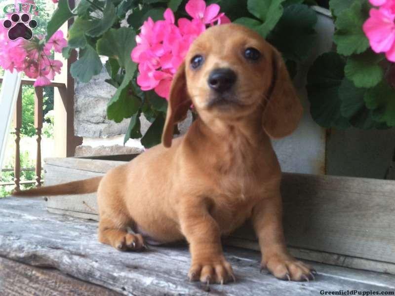 Holden Dachshund Puppy For Sale In Pennsylvania Dachshund