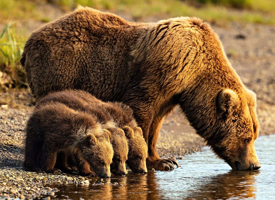 Brown bears enjoy family life to the full in Katmai