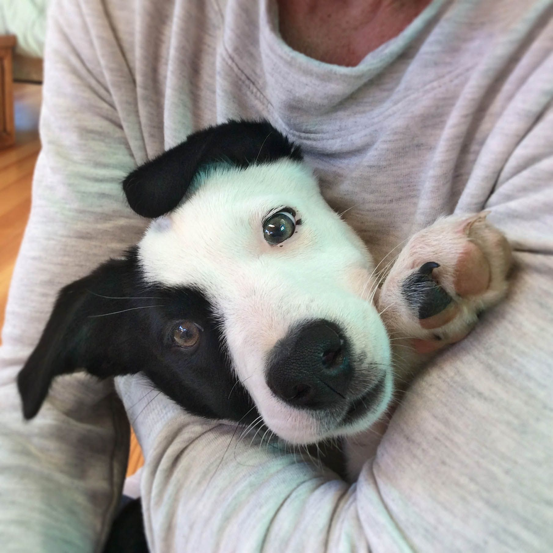 Chaia Http Www Garcinmcnabcollies Com Mcnab Dog Cute Dogs Breeds Dog Breeds