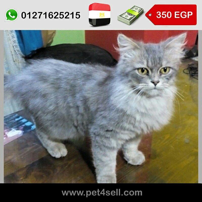 مصر الأسكندرية قطة شيرازى عمر شهرين و نصف متطعمة ارجل قصيرة لون نادر Pet4sell Cats Animals