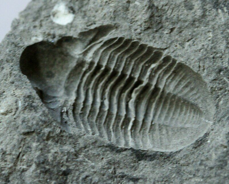 Negative (shadows make it look positive) Witryides rosmerta Order Proetida, Family Proetidae, Subfamily Ditmopyginae Carboniferous, Tounasian Stage (~350 million years ago) Size (25.4 mm = 1 inch): Trilobite is 25 mm long by 15 mm wide on a 120 mm by 50 mm by 55 mm high (part) and 100 mm by 45 mm by 50 mm high (counterpart) matrix Antoing, Belgium Description: This is an example of the rare Caboniferous proetid trilobite Witryides rosmerta.