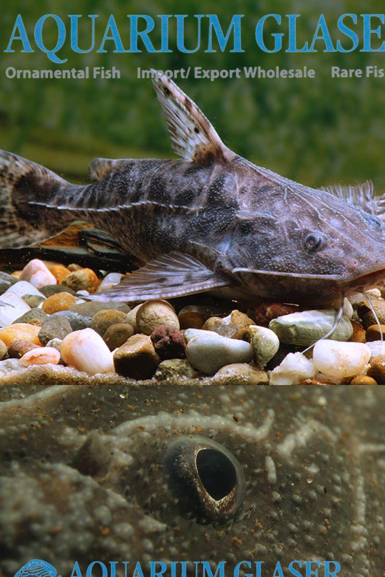 Pterodoras Granulosus Aquarium Glaser Gmbh Fish Catfish Animals