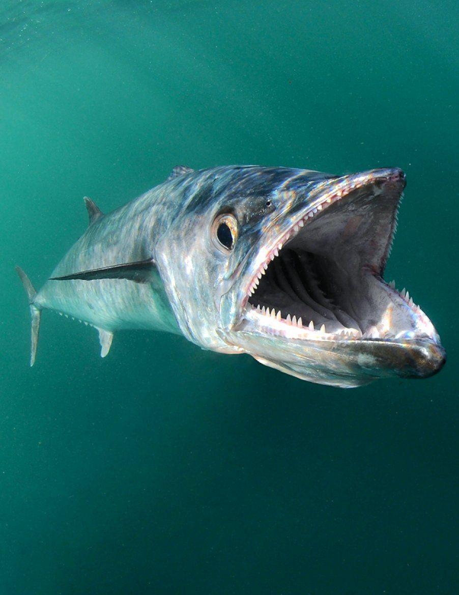 Kingfish Underwater By Jason Arnold Underwater Fish Fish Saltwater Fishing