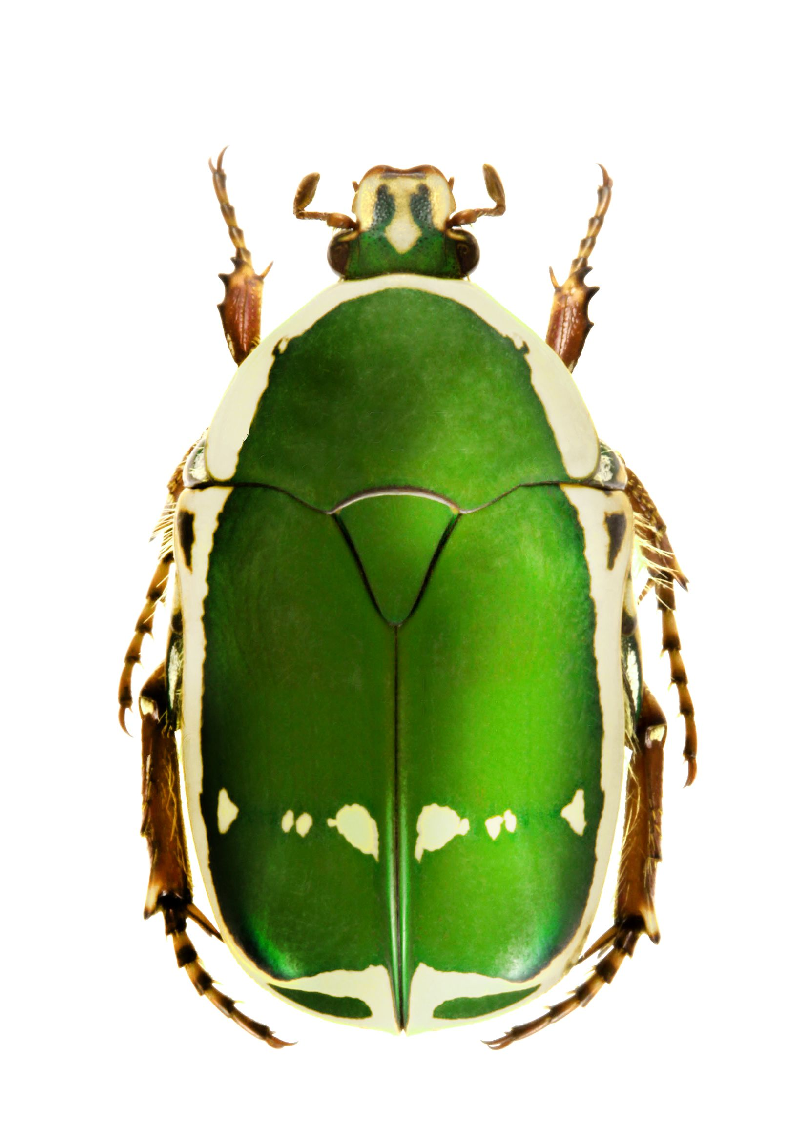 Pachnoda stehelini Beetles Beetle insect, Weird insects