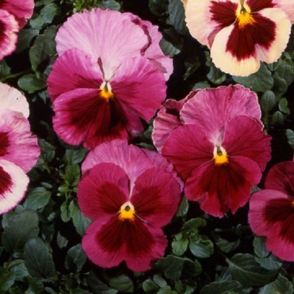Pansy Seeds Acq Strawberry Rose 50 Flower Seeds Flower Seeds Pansies Flowers Pansies