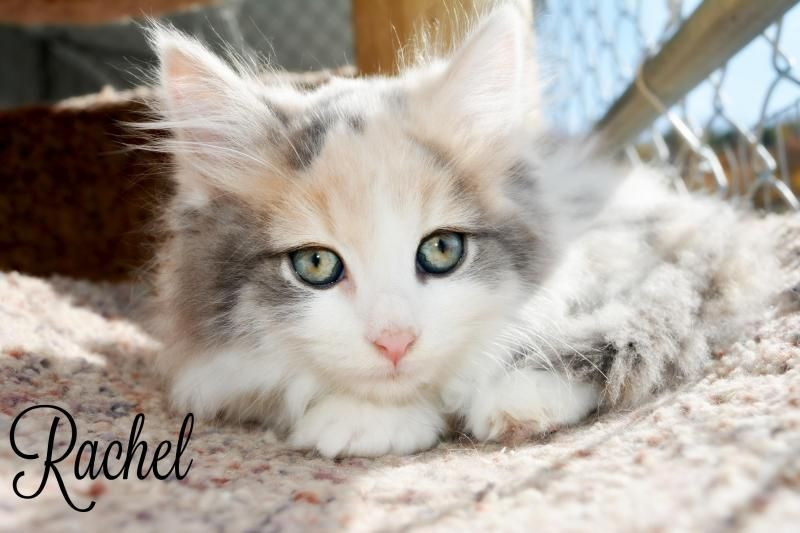 Rachel is approx 8 weeks old.The first step to our adoption process is to fill an application out        from our website or the shelter. We have a 24 hour application.  Our shelter adopts in order of applications received and       approval of ...