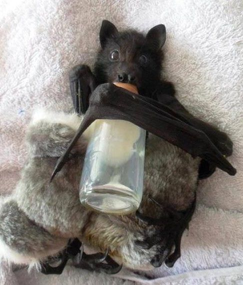 Thirsty Baby Bat with his little Koala Buddy. This is one of my favorite pictures! Soooo adorable!!