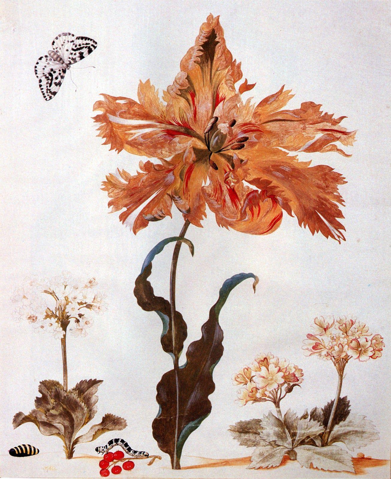 Maria Sybilla Merian Impressions Botaniques Gravures Botaniques