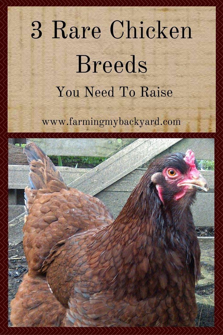 3 rare chicken breeds you need to raise chicken breeds backyard
