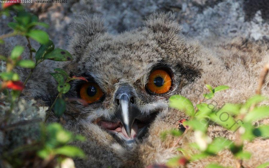 You really got me (The Eurasian Eagle-Owl)