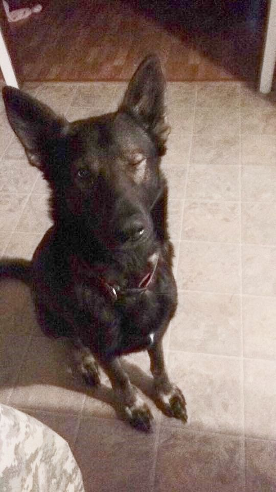 Bradley! German shepherd, Dogs, Animals