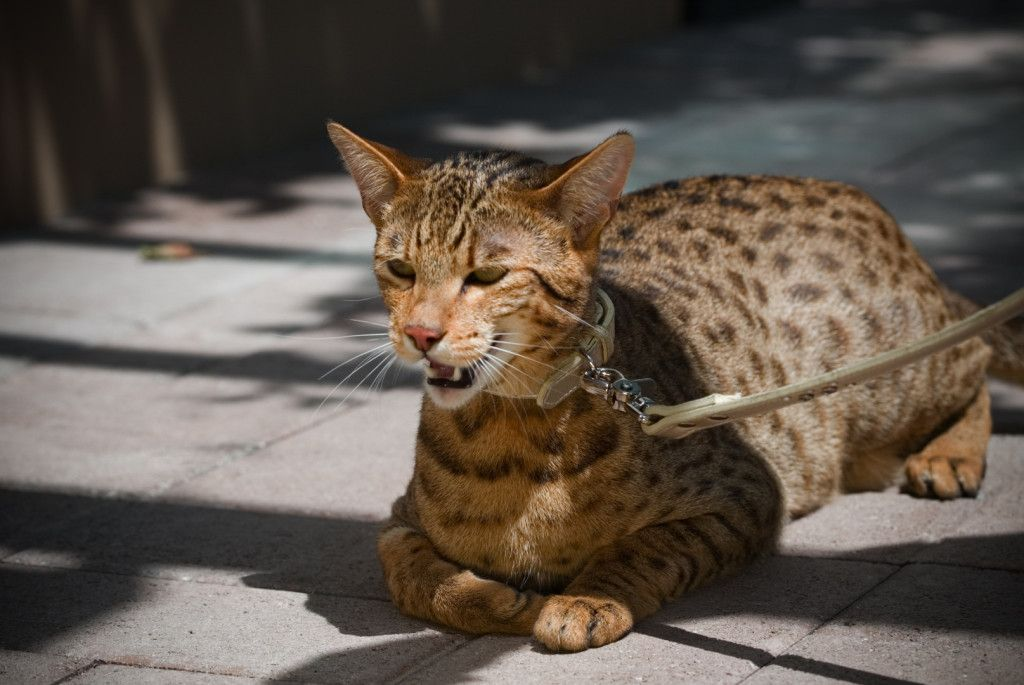 19 Of The Most Expensive Cat Breeds In The World 1 Is Insane Adorable Kittens Page 14 Ashera Cat Cat Breeds Domestic Cat Breeds