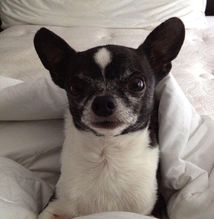 Chihuahua. My Gizmo.