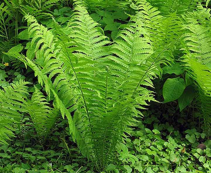 Garden Ferns   A Quiz To Help With Recognition And Identification