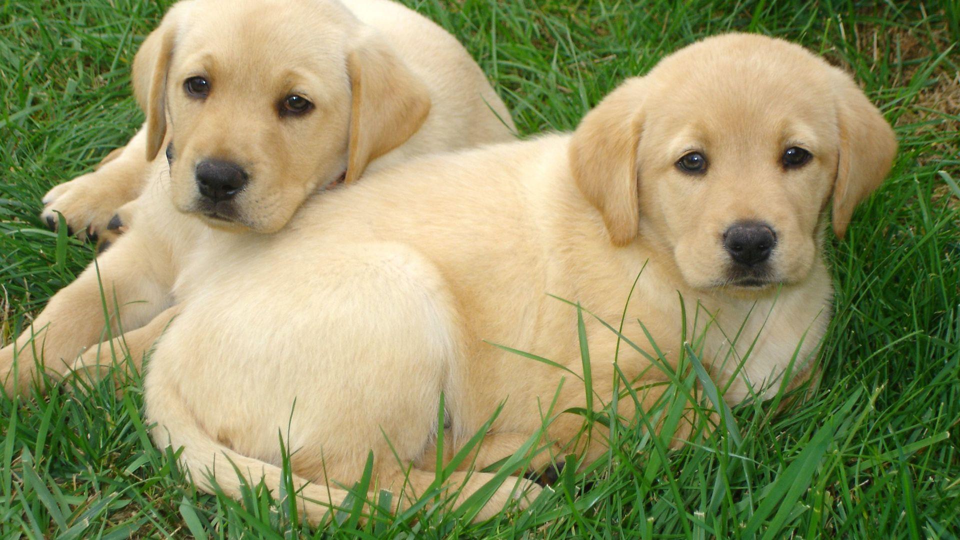 Labrador retriever puppies free hd wallpapers