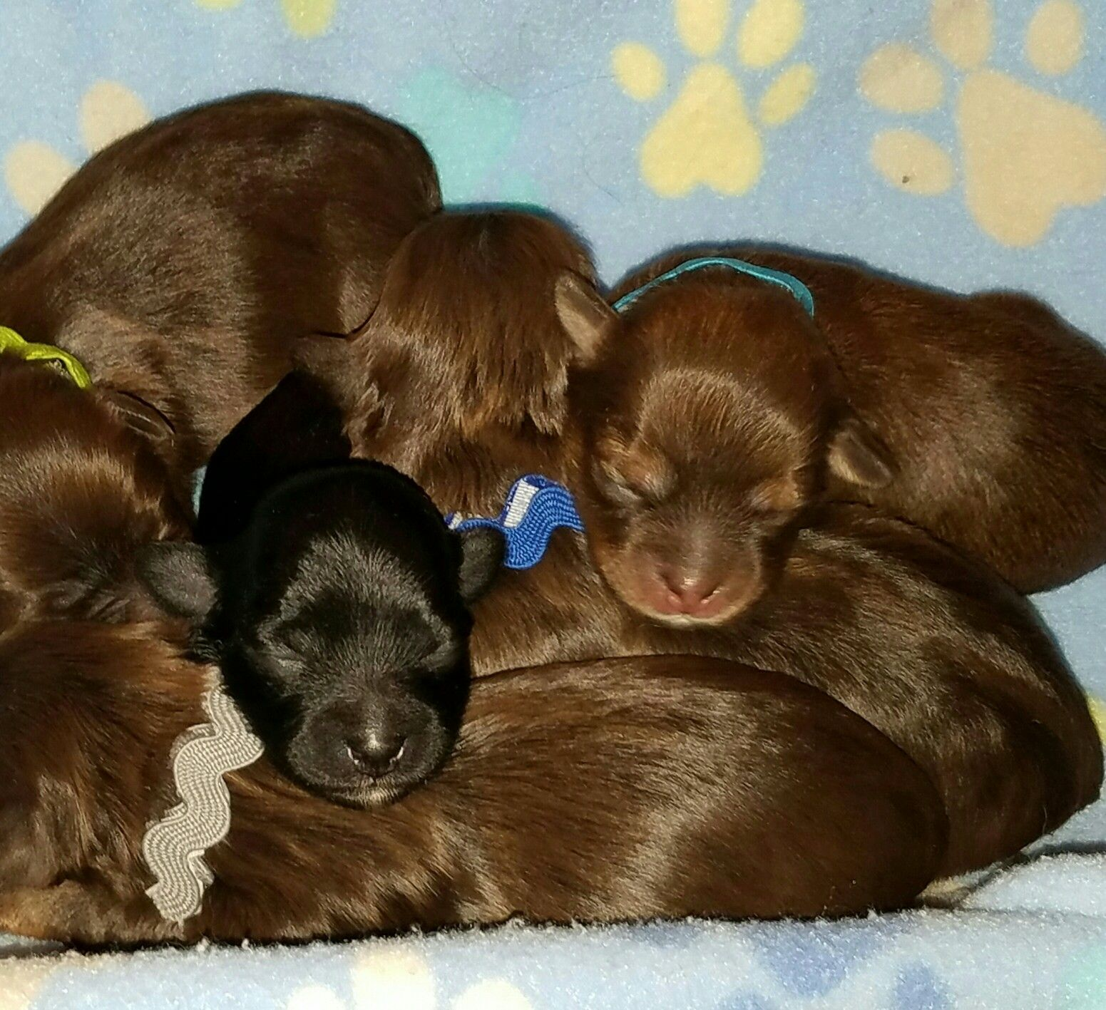 Austin Havanese Puppies In Texas Chocolate And Black Boys Dob 3917