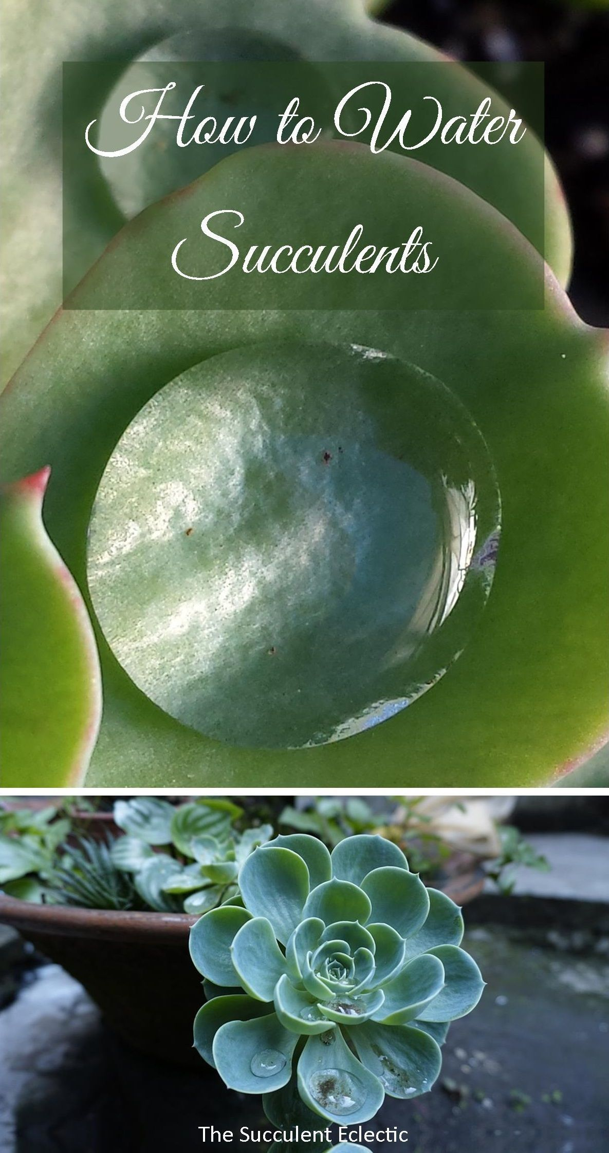 How To Water Succulents Your Plants Will Tell You How To Water