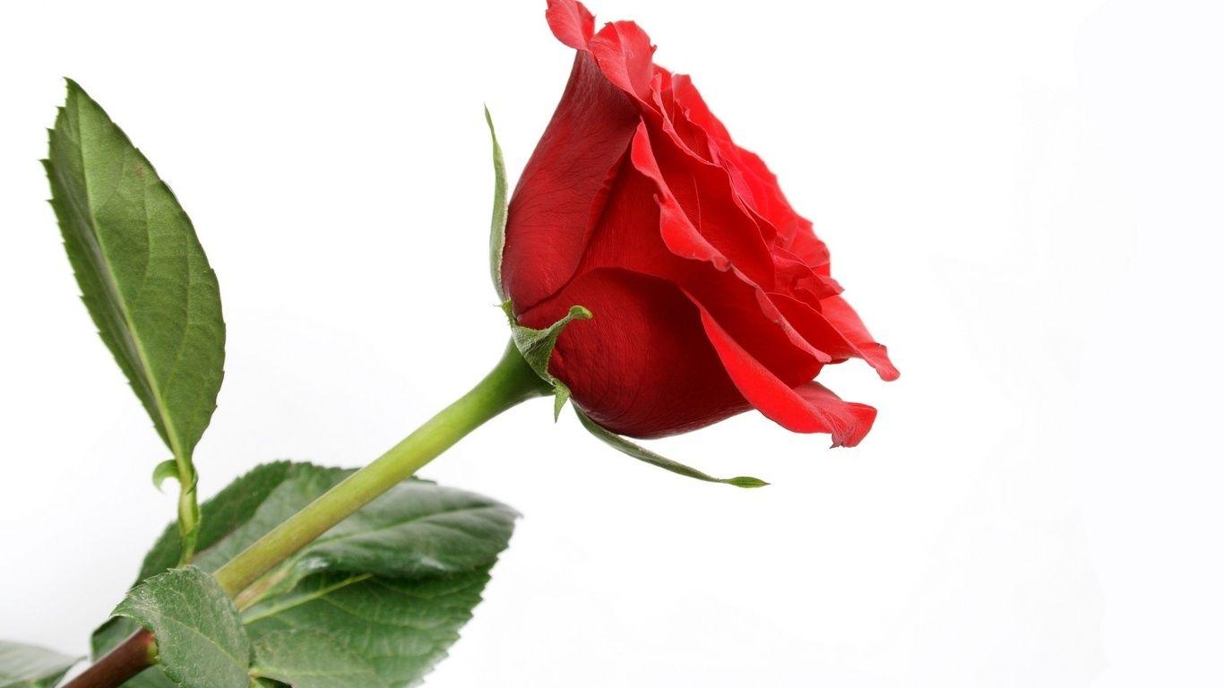 Rosas rojas buscar con google rosas pinterest - Rosas rosas hermosas ...