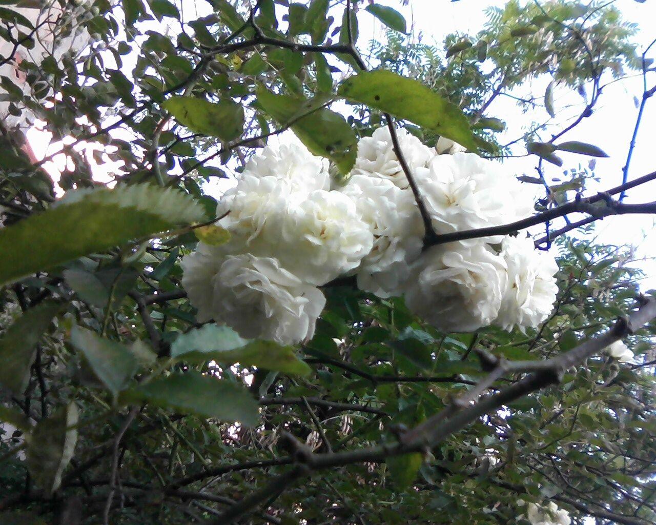 Rosas da minha Casa ;)