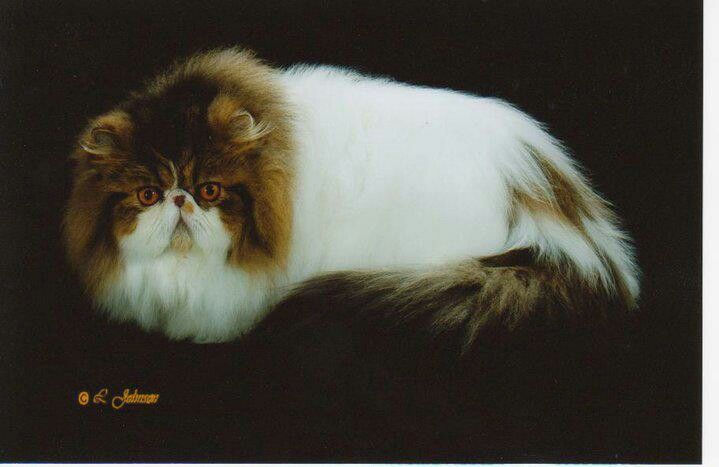 Pin On Persian Cats Sandy B Cattery