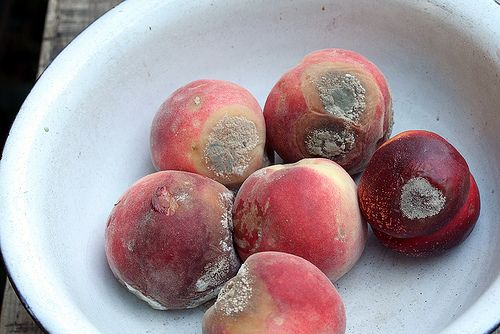rotten fruit   Rotten Fruit in 2019   Moldy peaches, Fruit