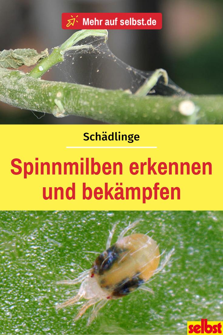 Spinnmilben Selbst De Spinnmilben Schadlinge Im Garten Milben