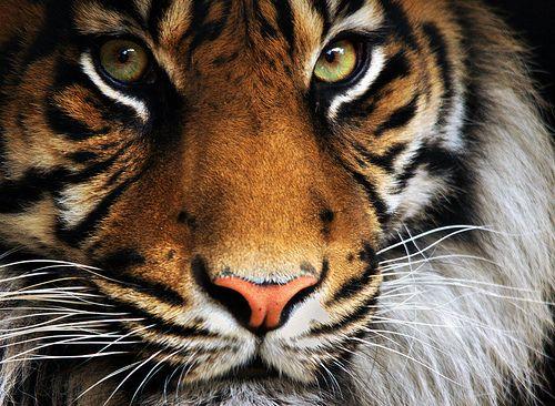 Tiger -- Mylo Xyloto