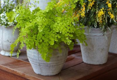 Mosquito-Repelling Plants.....a must.