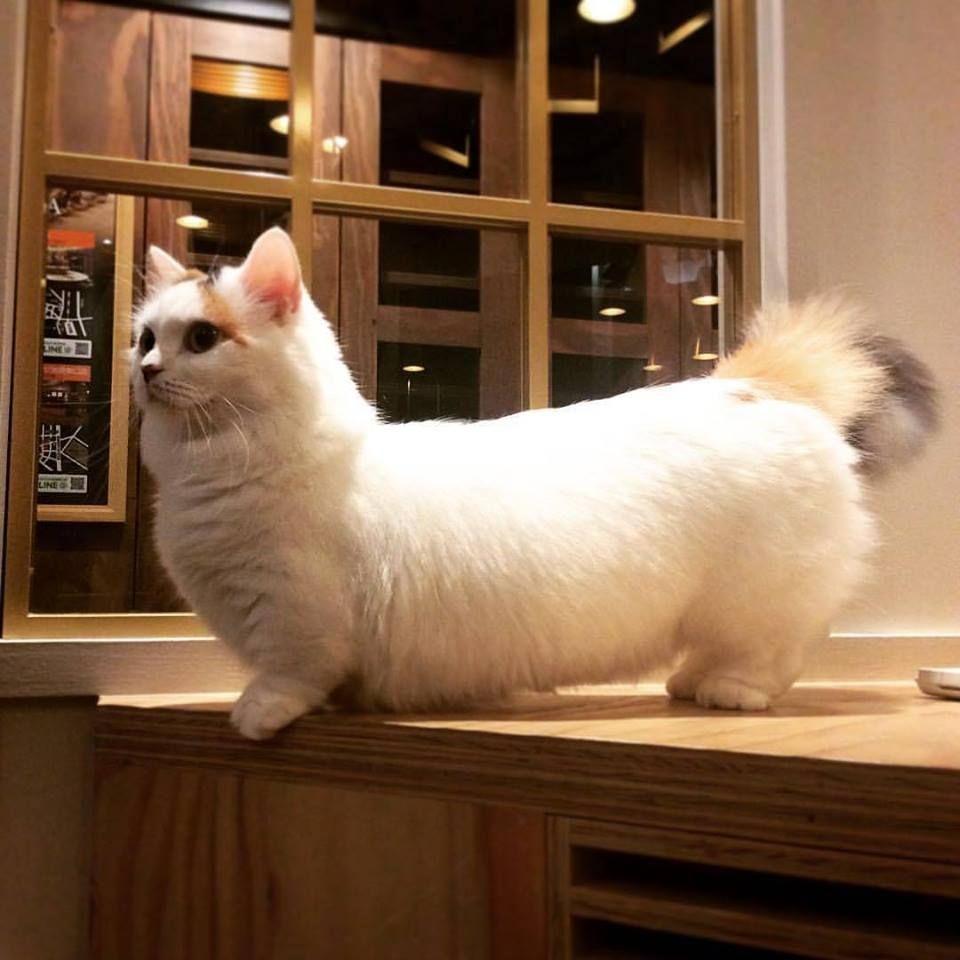 best photos and images ideas about munchkin cat - most affectionate ...