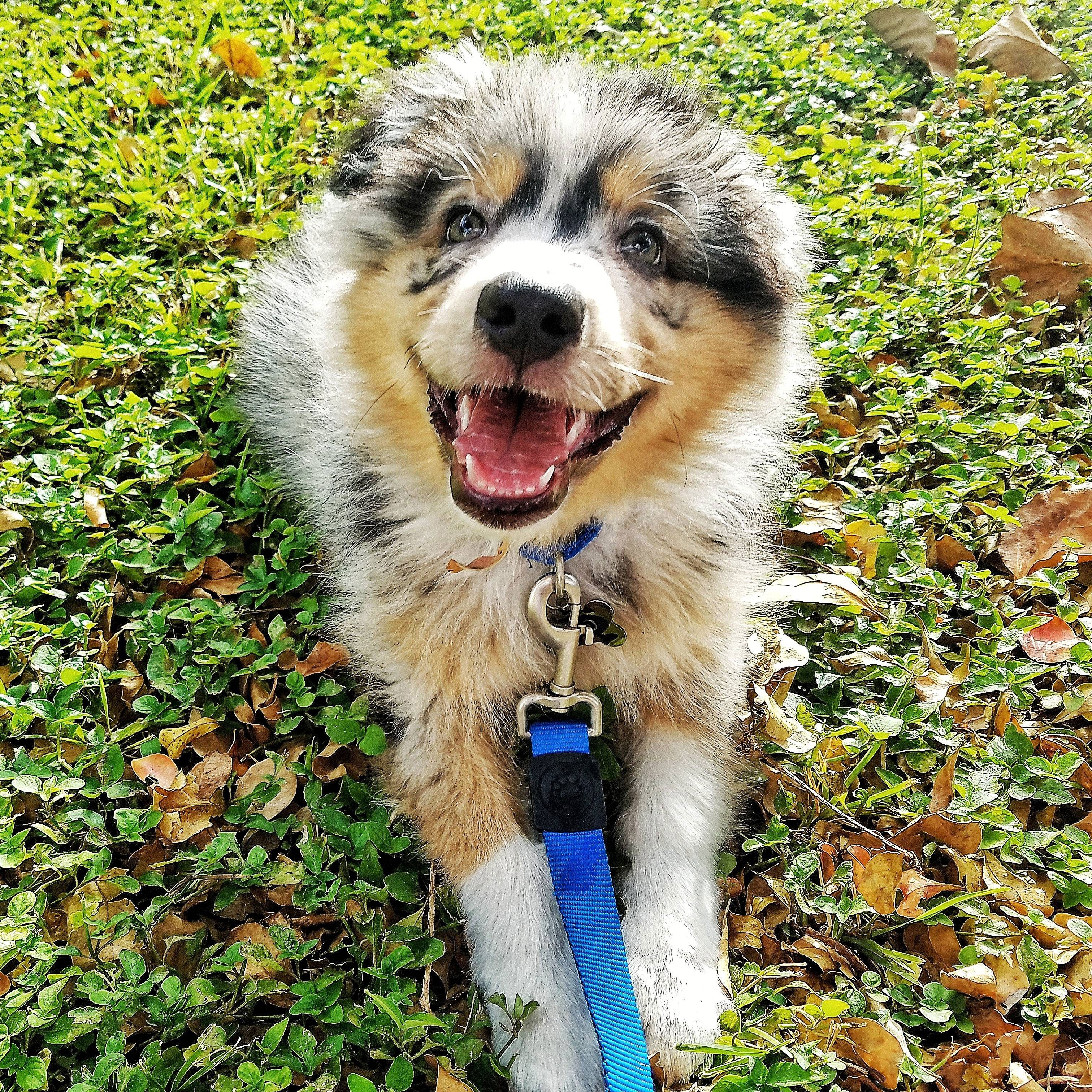 Happy Australian Shepherd Shamstore