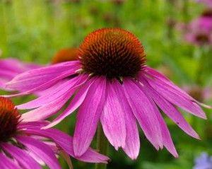 Echinacea purpurová (Echinacea purpurea)