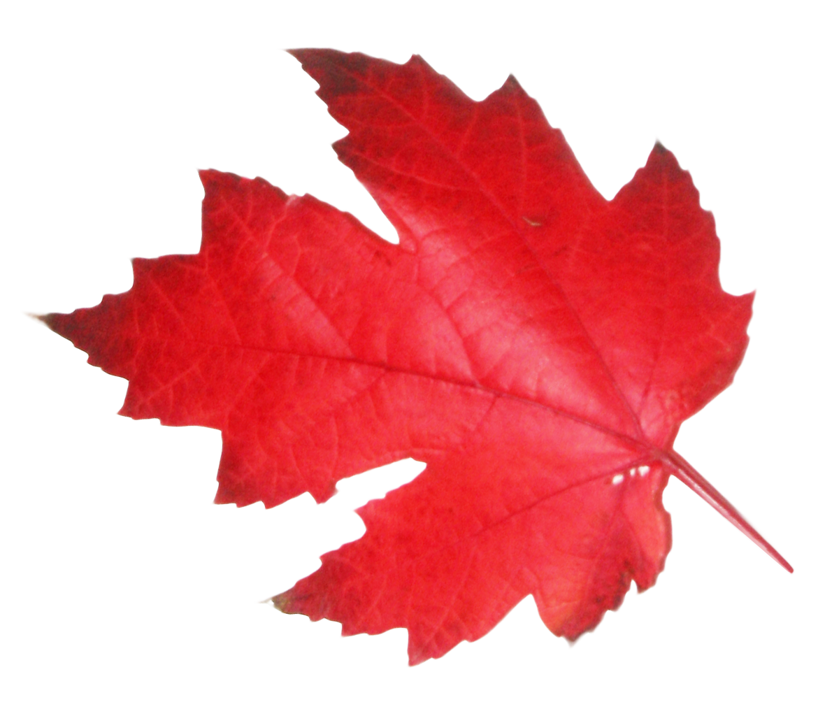 Red Leaf Png Image Png Images Image Maple Leaf Tattoo