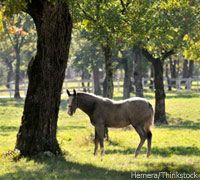 My horse is eating tree bark