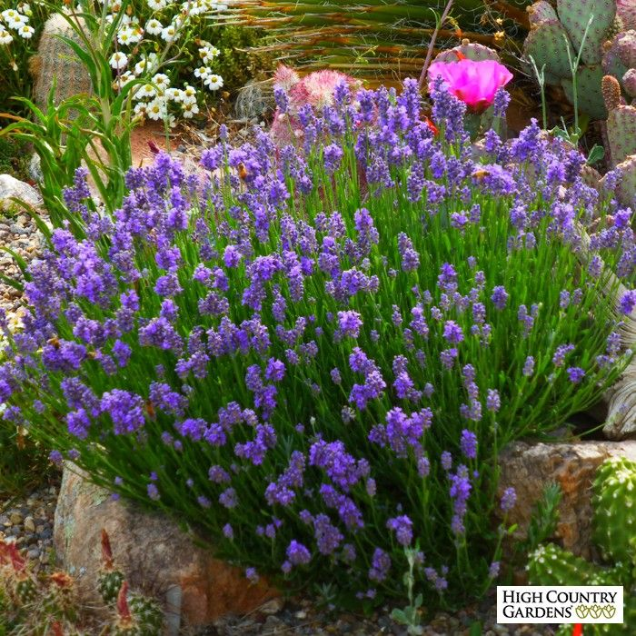 a special dwarf english lavender that blooms with a wonderful display of short blue flower. Black Bedroom Furniture Sets. Home Design Ideas