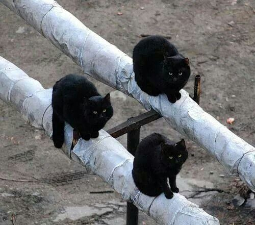 Tres gatos negros ...