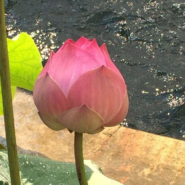Very big lotus flowers naturegarden pinterest flowers and very big lotus mightylinksfo Image collections