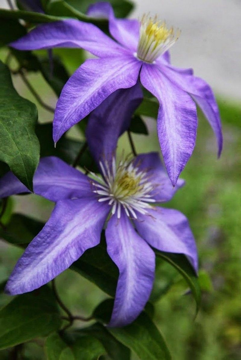 5 Clematis Sorten Für Eine Wunderschöne Gartengestaltung #montanarubens  #clematismontana #blaue #kletterpflanzen #