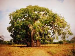 Baobab træ