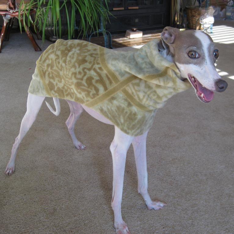 Italian Greyhound Dog Coat - Small | Italian greyhound dog, Italian ...