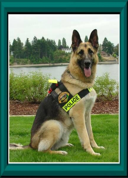 K 9 Police Dogs Buddy A Bremerton Police Dog On The Force Just