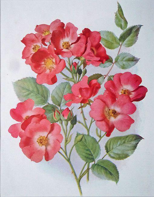 antique flower prints antique floral prints a single flowered climbing rose american