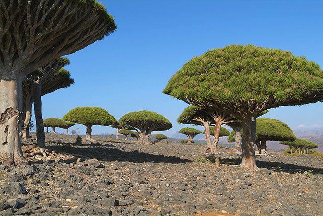 Socotra - the kingdom of endemics: Dragon Tree