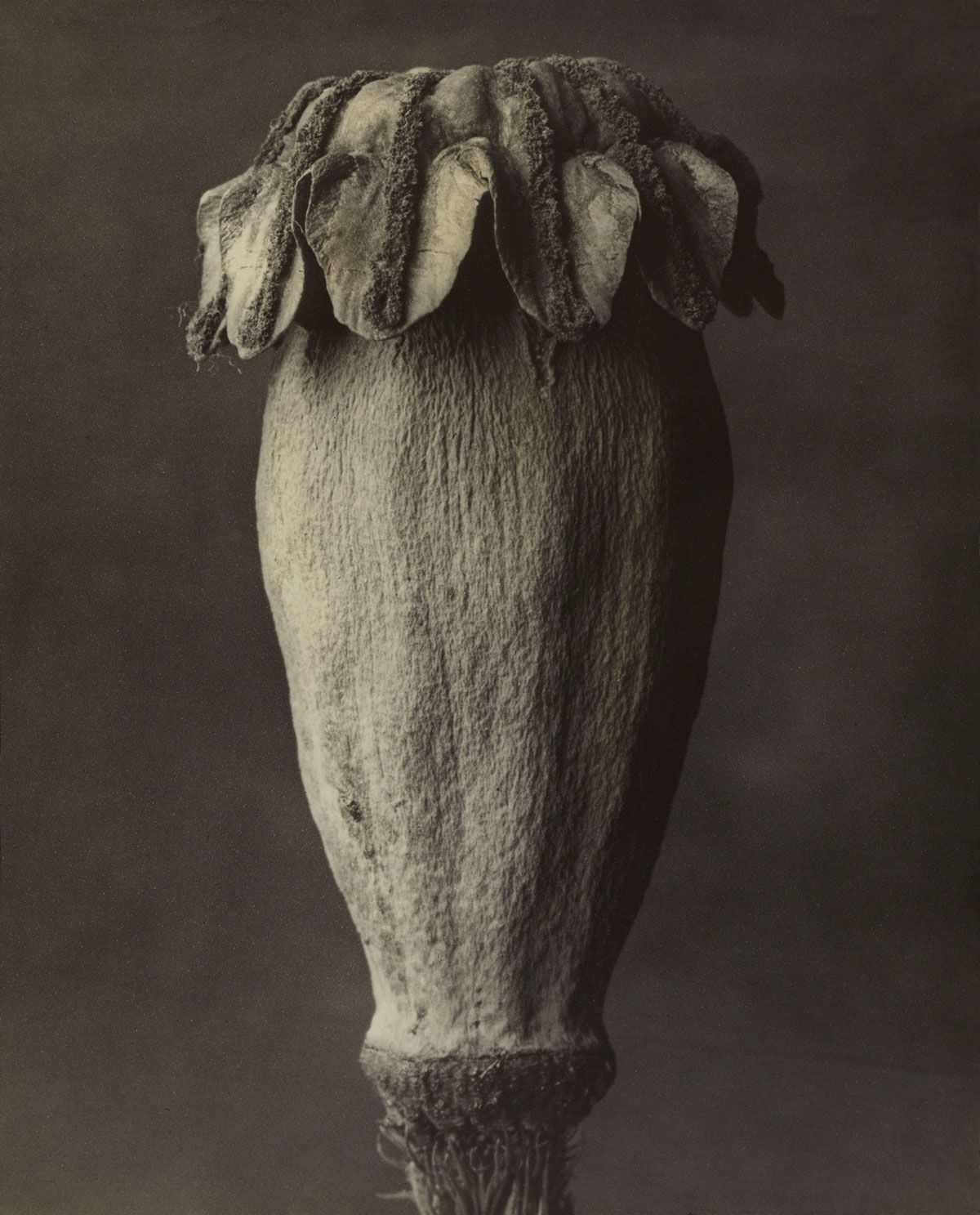 Karl Blossfeldt Papaver orientalis Digital Photograph Masters of Photography