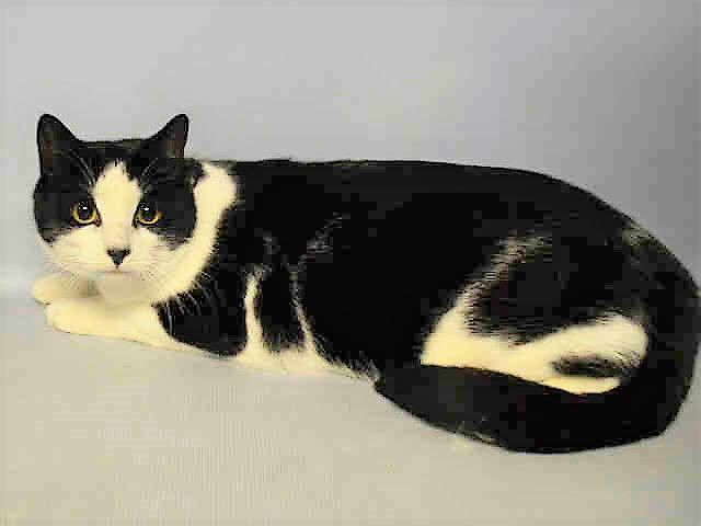 A1101989 ROCK 3 YR OLD NEUTERED KITTY NAMED ROCK NEEDS A HOME (AND A BETTER NAME!!)